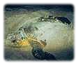 Nesting Loggerhead Sea Turtle. Click for enlargement that opens in a new window.