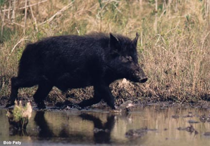 "The feral hogs in Florida, or ""piney woods rooter"" as they are sometimes"