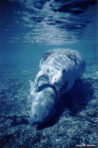 Belize Manatee Watching in the Wild Excursion - Belize ... |Manatees Playing