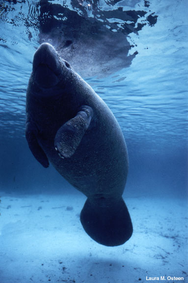 Manatee with surface reflection