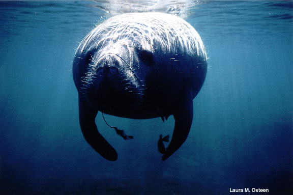Whiskers on a Manatee.