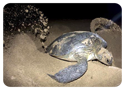 Watch a sea turtle laying her eggs on our beach.