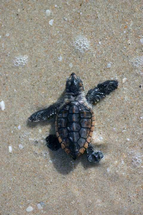 Loggerhead Sea Turtle Is A New Florida State Symbol
